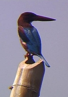 Kingfisher Blau
