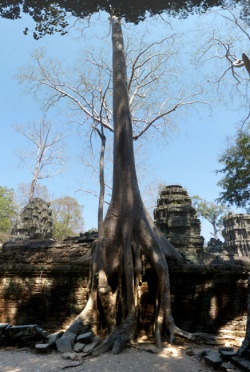 Baum sprengt Stein in Ta Prohm